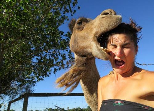 Photobombing camel